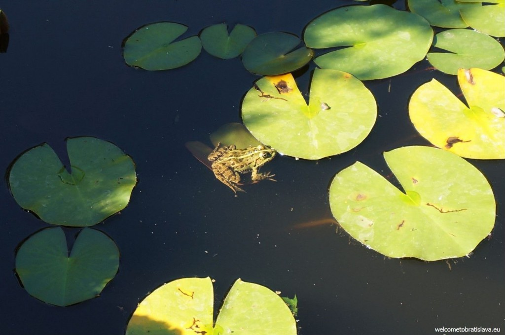 Sometimes frogs can be seen in the pond