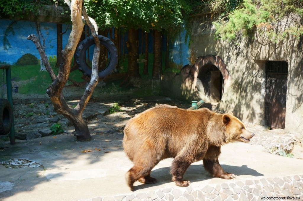 The brown bear is a big attraction