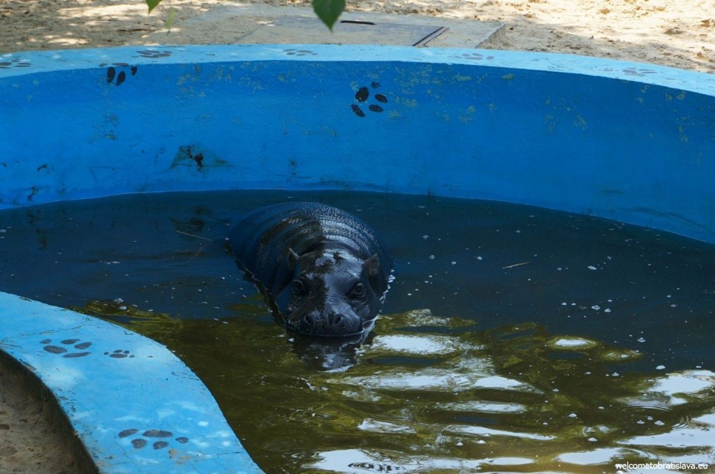 A hippo bathing in a pool
