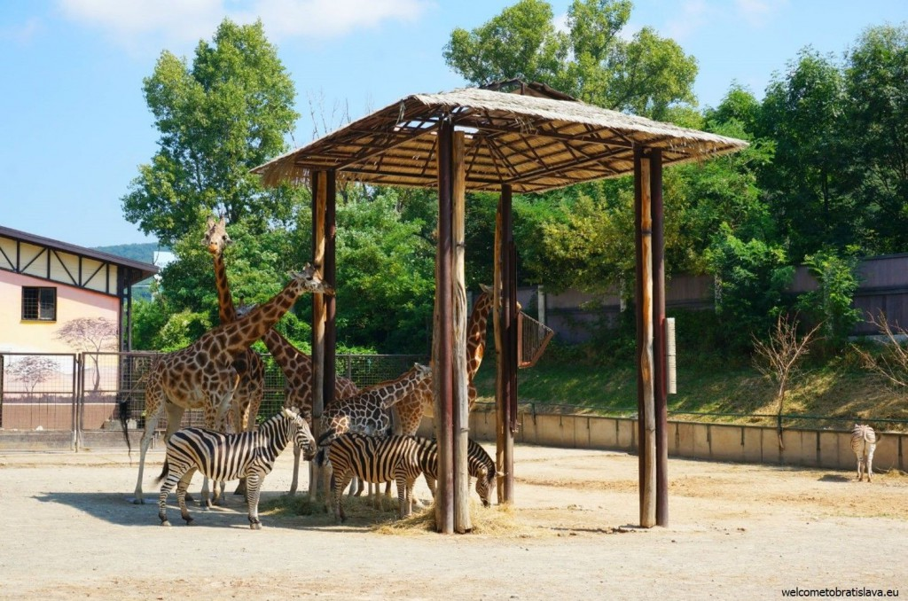 Giraffes are some of the most adorable animals in the ZOO