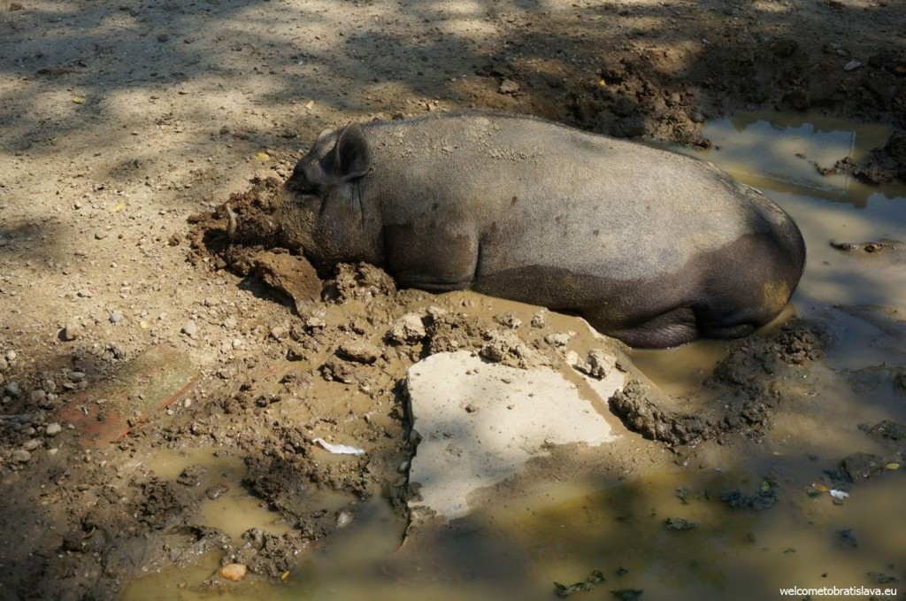 A sleeping pig