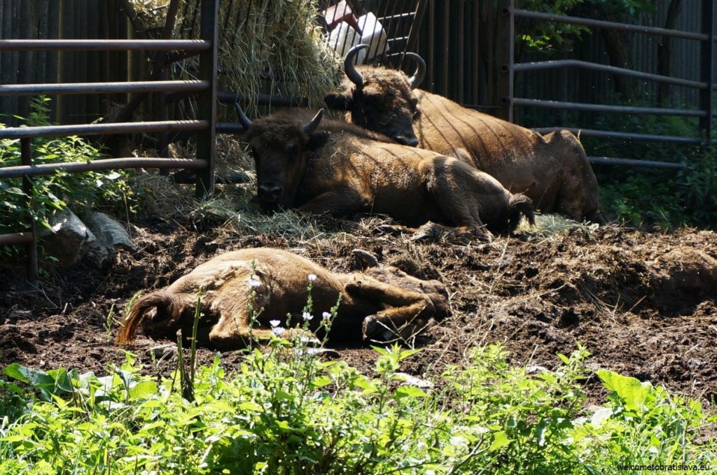 Sleeping bisons