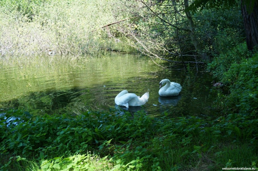 Swans which are chilling in a lake