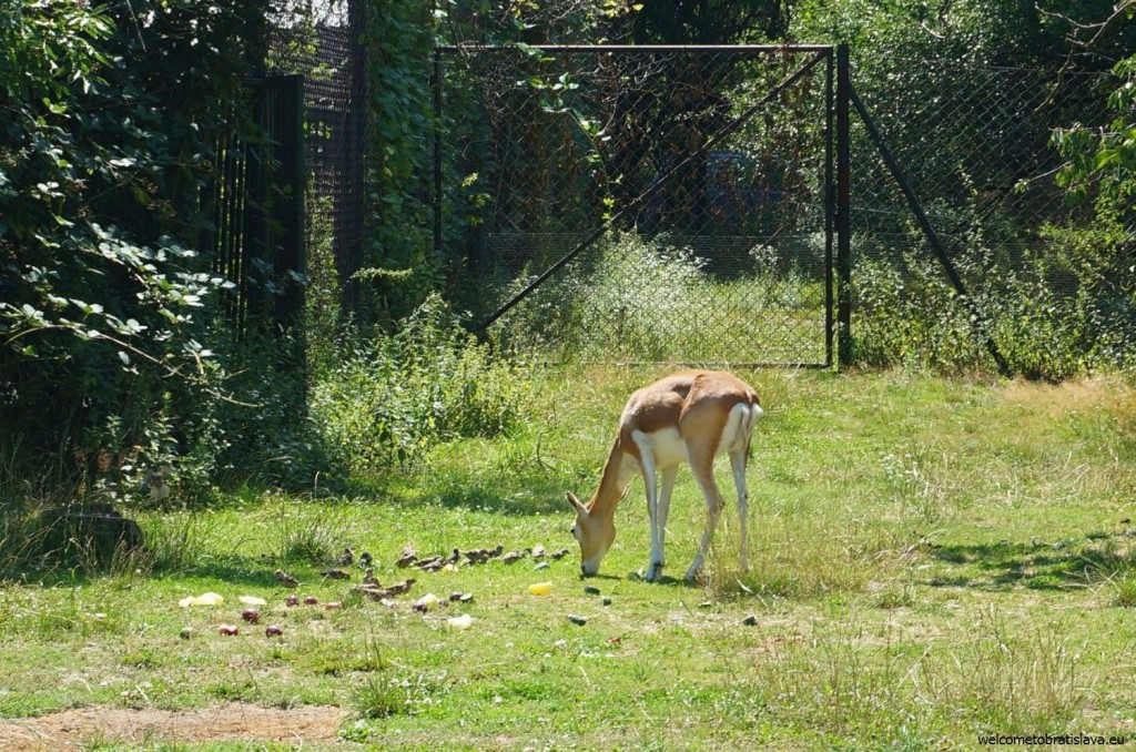 A hungry doe